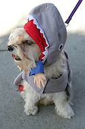 31st October 2009. Long Beach, California. The Haute Dog Howl'oween Parade in Long Beach. Pictured is Penny the mutt dressed in a shark costume. PHOTO © JOHN CHAPPLE / www.chapple.biz.john@chapple.biz  (001) 310 570 9100.
