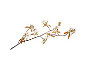 A branch of Amelanchier laevis showing flowers and new leaves on a white background.