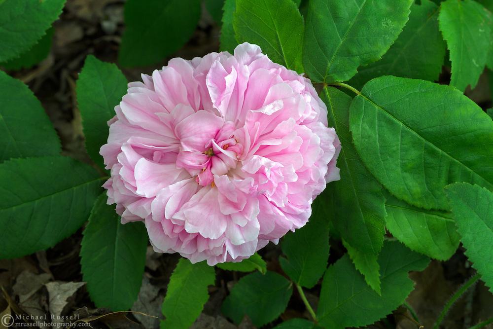 The Old Garden Rose 'Queen of Denmark' (Königin von Dänemark) flowering in the spring