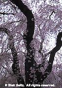 Bryn Mawr College Arboretum, Weeping Higan Cherry Blossoms, [runus subhiirtella 'pendula,' Bryn Mawr, Delaware Co., PA Philadelphia gardens and arboretums