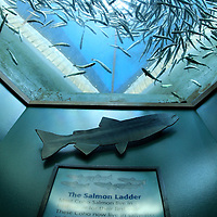 The Coho Salmon ladder at the Seattle Aquarium and a large school of baby coho looking down at the people below...