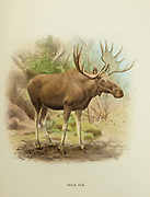 The moose (in North America) or elk (in Eurasia) (Alces alces), is a member of the New World deer subfamily and is the largest and heaviest extant species in the deer family. from the book ' The deer of all lands : a history of the family Cervidae, living and extinct ' by Richard Lydekker, Published in London by Ward 1898