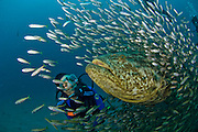 Scuba diver and Goliath Grouper (Epinephelus itajara) during a spawning aggregation in Jupiter, FL.
