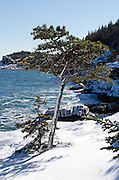 A lone Red Pine tree grows from a cliff on the snow-covered shore of Acadia National Park, Maine.