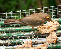 Spectacled Thrush (Turdus nudigenis). Asa Wright Nature Centre, Trinidad, Image taken with a Nikon D3s camera and 70-300 mm VR lens.