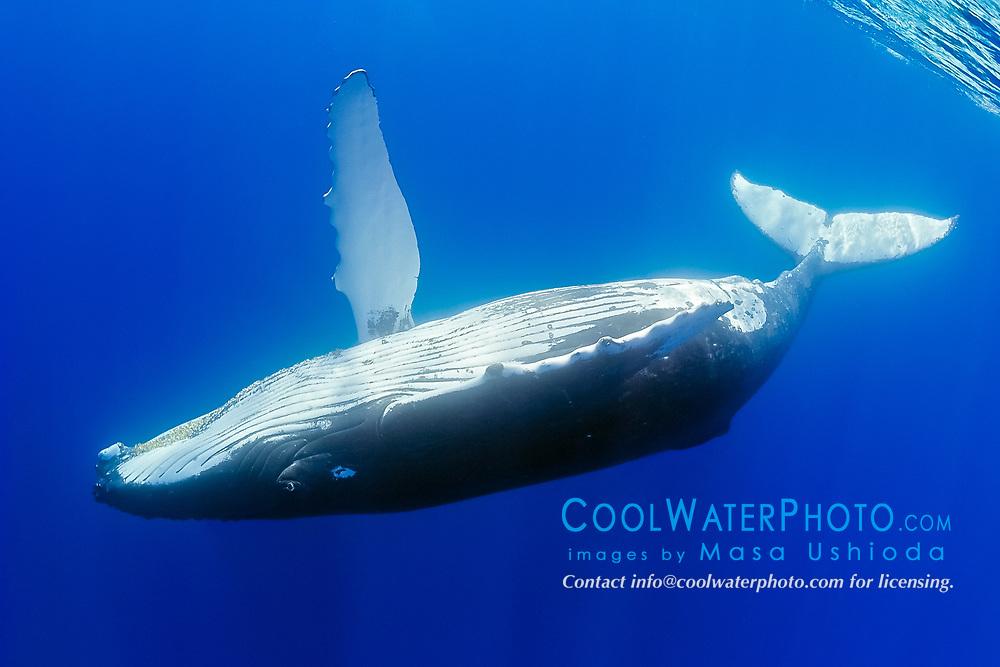 humpback whale, Megaptera novaeangliae, adult female, swimming upside down, Hawaii, Pacific Ocean