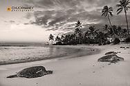 Hawaiian Green Sea Turtles on Poipu Beach in Kauai, Hawaii, USA