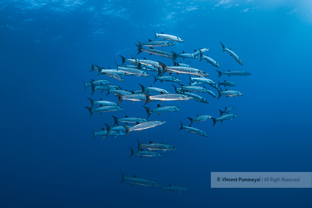 Great Barracuda fish (Sphyranea barracuda) of Red Sea, Egypt.