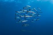 Great Barracuda fish (Sphyranea barracuda)