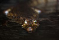 A spectacled caiman, Caiman crocodilus, in dark river water.