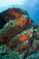 Rock encrusted with colourful sponges, and algae<br /> France: Corsica, Cerbicale Islands