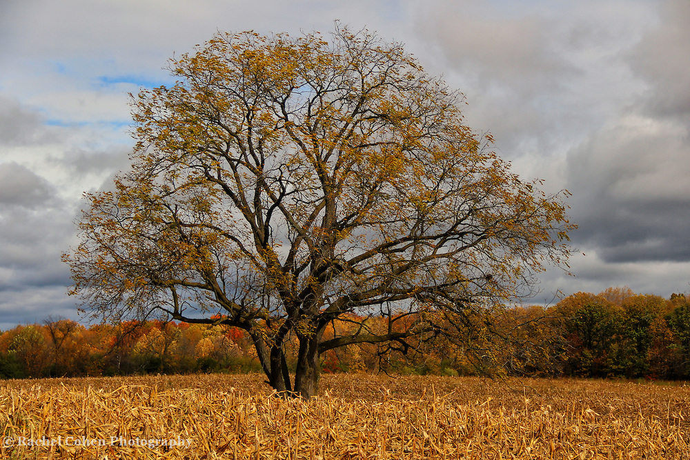 """""""Loner""""<br /> <br /> The beauty of a lone tree at autumns end. Most of the foliage is gone, revealing the pure beauty of the tree itself, all alone in the middle of a harvested cornfield!<br /> <br /> Autumn Landscapes by Rachel Cohen"""