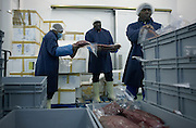 Employees of fish product importers New England Seafoods, carefully transfer fresh tuna steaks ready for processing