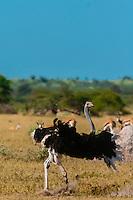 Male ostrich doing a mating dance (to attract female ostrich), Nxai Pan National Park, Bostwana.