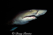 sand tiger, gray nurse, or ragged tooth shark, Carcharias taurus,, Australia ( Pacific Ocean )