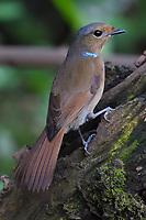 Large Niltava, Niltava grandis, female bird sitting on a tree trunk in Baihualing, Gaoligongshan, Yunnan, China