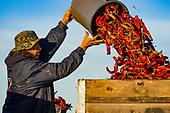 The Arizona Chili Harvest