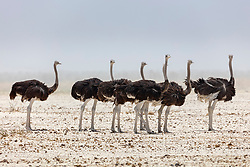 Group of Ostrich at Etosha National Park, Namibia, Africa