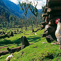 A homesteader's rooster crows in a deforested Amazon cloud forest.
