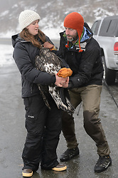 """Rachel Wheat, a graduate student at the University of California Santa Cruz (left) and Steve Lewis, Raptor Management Coordinator, U.S. Fish & Wildlife Service, prepare to release bald eagle (Haliaeetus leucocephalus) """"4P"""" back into the wild. Wheat is conducting a bald eagle migration study of eagles that visit the Chilkat River for her doctoral dissertation. She hopes to learn how closely eagles track salmon availability across time and space. The bald eagles are being tracked using solar-powered GPS satellite transmitters (also known as a PTT - platform transmitter terminal) that attach to the backs of the eagles using a lightweight harness. A handmade leather hood is placed over the bald eagle's eyes to keep the bird calm. Leather booties protect the researchers from the bald eagle's powerful talons during the process of taking measurements and attaching the GPS satellite transmitter. The latest location of this eagle can be found here: http://www.ecologyalaska.com/eagle-tracker/4p/ . During late fall, bald eagles congregate along the Chilkat River to feed on salmon. This gathering of bald eagles in the Alaska Chilkat Bald Eagle Preserve is believed to be one of the largest gatherings of bald eagles in the world."""