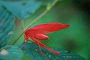 Oblong-winged Katydid (Amblycorpha oblongifolia) Red Phase Morph on leaf - Mississippi.