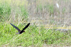 24 May 2016: Emiquon National Wildlife Refuge<br /> White-faced Ibis