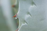 Leaves of the Agave deserti or Century Plant, Sonoran Desert, Anza-Borrego State Park California