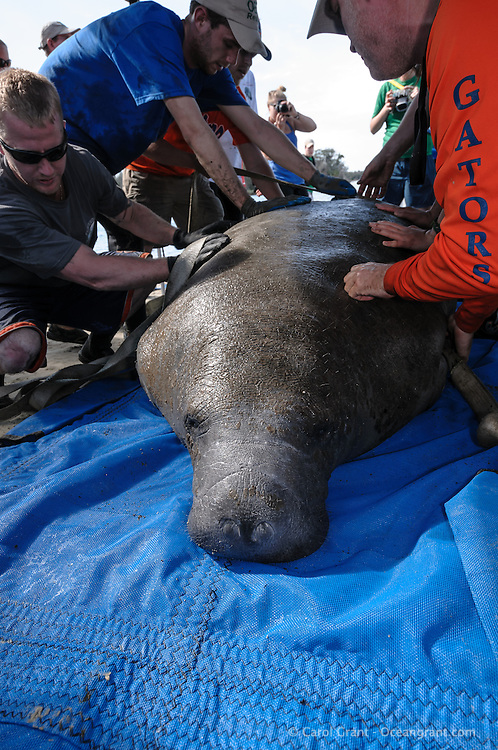 Manatee Health Assessments, Kings Bay, Crystal River, Citrus County, Florida USA. January 24, 2012 pm. Researchers from several federal and state agencies work together to gather data during the manatee capture and health assessments. A captured manatee in monitored while straps are attached to gently roll the animal for data and sample acquisition. The manatee is only kept out of the water for a safe, pre-determined timespan.