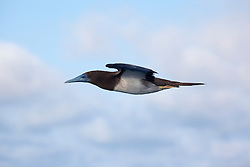 A Brown Booby (Sula leucogaster) in flight.  The Boobies nest on the Lacepede Islands, to the northwest of Broome.