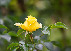 THEMENBILD - Knospe einer gelben Rose, aufgenommen am 09. Juni 2018, Kaprun, Österreich // bud of a yellow rose on 2018/06/09, Kaprun, Austria. EXPA Pictures © 2018, PhotoCredit: EXPA/ Stefanie Oberhauser