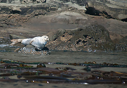 Harbor Seal (Phoca vitulina), Stuart Island, Washington, US