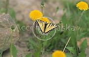 Alaska. Ester. Dandelions and a monarch butterfly.