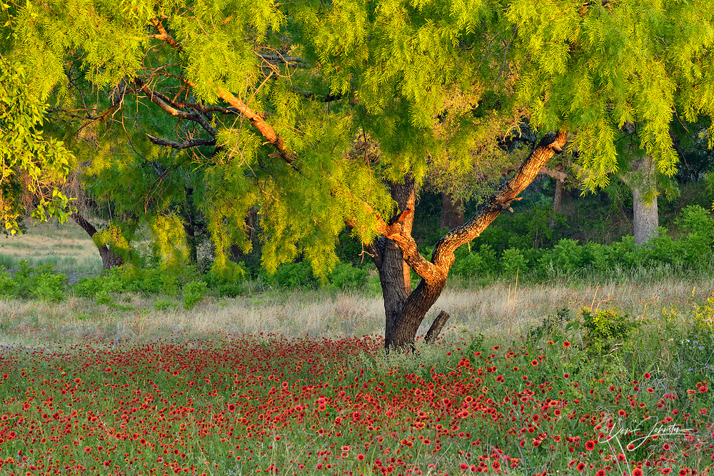 Mesquite trees and flowering Indian Blanket, Turkey Bend LCRA, Texas, USA
