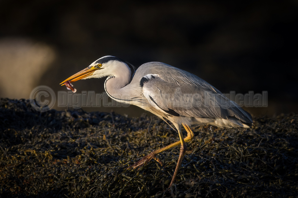 Gray Heron with a fish in it's beek | Gråhegre med en fisk i nebbet.
