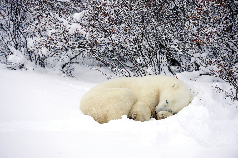 Polar bear (Ursus maritimus) Resting in snow along Hudson Bay coastline, Churchill, Manitoba, Canada