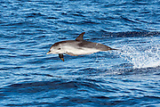 Atlantic Spotted Dolphin, Stenella frontalis, jumping near Pico Island, Azores, Portugal, North Atlantic Ocean.