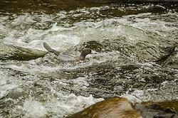 Whio, Blue duck, Hymenolaimus malacorhynchos