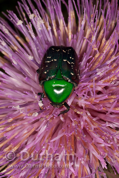 An euphoria beetle (euphoria fulgida) collecting nectar from a thistle flower.   Central Texas.