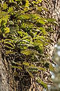 Resurrection fern growing on a live oak tree on the Isle of Palms, SC.