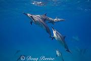 Hawaiian spinner dolphins or Gray's spinner dolphin, Stenella longirostris longirostris, socializing; one dolphin with scissor beak deformity, Hookena, South Kona, Hawaii ( the Big Island ), USA ( Central Pacific Ocean )