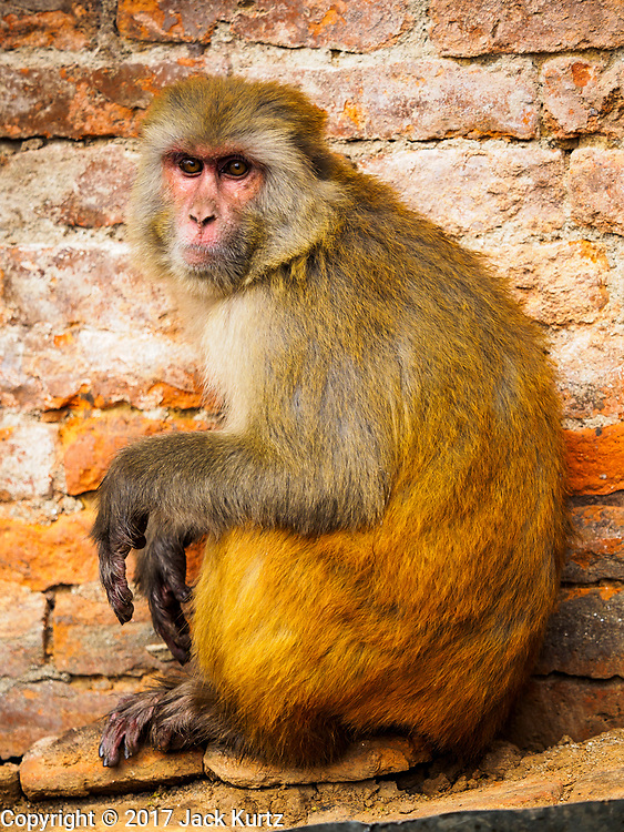 11 MARCH 2017 - KATHMANDU, NEPAL: A long tailed macaque monkey at Swayambhu Stupa in Kathmandu. The second most important Buddhist stupa in Kathmandu, Swayambhu Stupa is also a historic landmark and has panoramic views of Kathmandu. It is sacred to both Buddhists and Hindus. The stupa is being rebuilt because it was badly damaged in the 2015 earthquake.  PHOTO BY JACK KURTZ