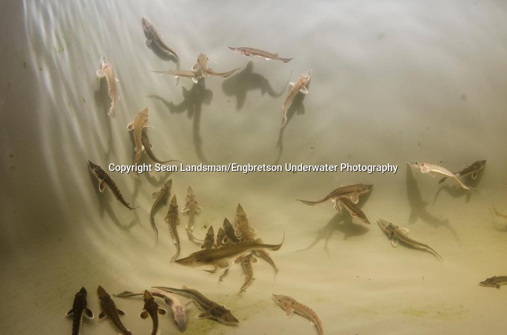 Shortnose Sturgeon Fingerlings<br /> <br /> Sean Landsman/Engbretson Underwater Photography