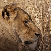African lion, Female, Malamala Game Reserve, South Africa.