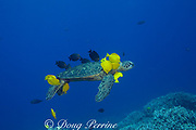 green sea turtle ( Chelonia mydas ) being cleaned by herbivorous fish that graze algae off of turtle's shell, at cleaning station, Kona, Hawaii ( Central Pacific Ocean ); cleaner fish are yellow tangs ( Zebrasoma flavescens ) and gold-ring surgeonfish or kole ( Ctenochaetus strigosus )