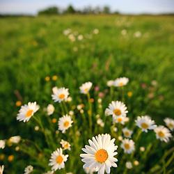 Oxe-eye daisies in a hay field on a farm in Ipswich, Massachusetts.