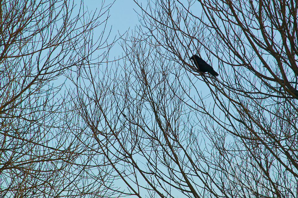 single crow sitting on a branch in the fall with no leaves silouette