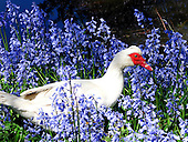 Muscovy Duck Pictures - Photos