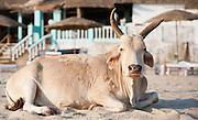 Indian cow on the beach in Goa (India)