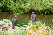 Turkey vultures (Cathartes aura), Topes de Collantes nature reserve, Escambray Mountains, Cuba