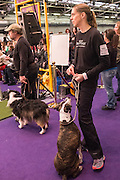 New York, NY - 8 February 2014. Handlers and their dogs eagerly waiting for their turns in the agility trials at the Westminster Kennel Club dog show.
